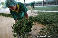 Как собирают чай в Таиланде