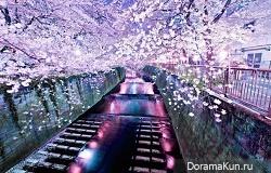 Цветение вишни, Тайвань. Фото