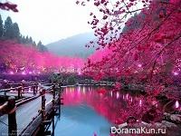 Цветущие тайваньские вишни