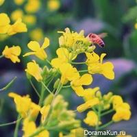 colza blossom festival