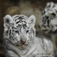 Kunming Yunnan white tiger cubs
