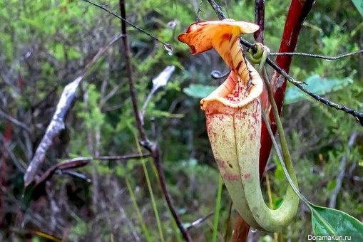 фото растение narilatha