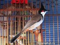 Таиланд. Конкурс певчих птиц
