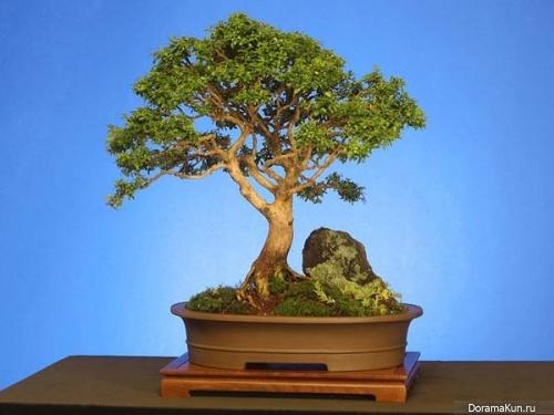 Япония. Бонсай - искусство выращивания дерева в миниатюре