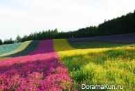 Лавандовые поля. Ферма Томита