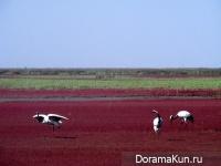 Китай. Красный пляж Паньцзинь