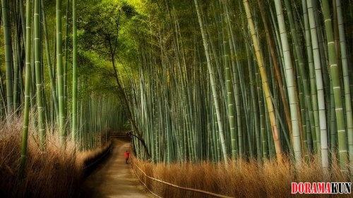 Япония. Бамбуковые рощи.