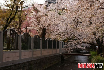 Сакура цветет над каналом Такасэгава.