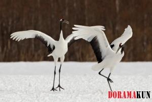 Танец японского журавля