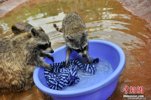 raccoons in the zoo of Kunming city China