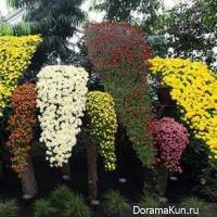The chrysanthemum festival