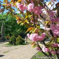 Sakura/Kiev