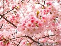 Япония. Время цветения сакуры